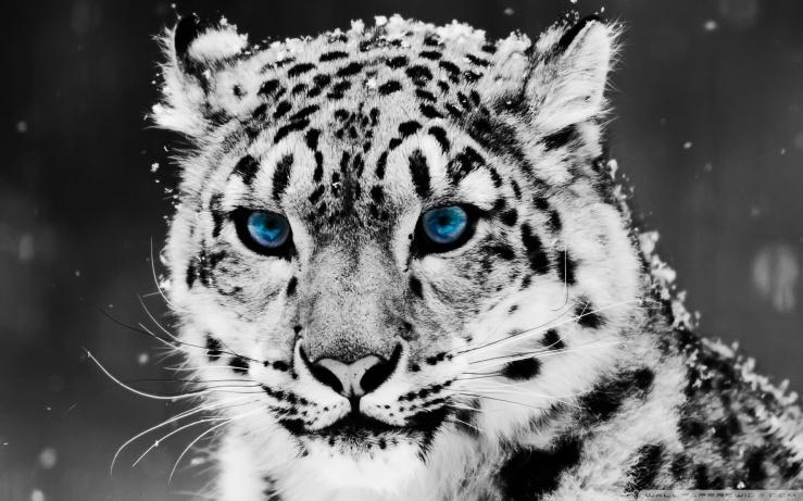 snow_leopard___black_and_white_portrait-wallpaper-1920x1200
